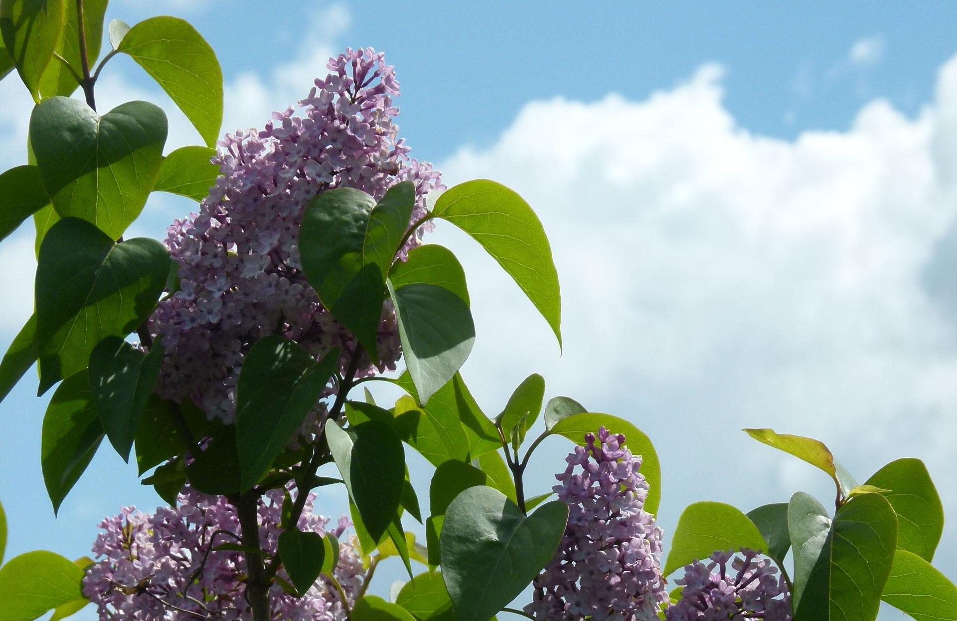Bomen In Tuin : Bloeiende bomen voor tuin en plantsoen hpg hoveniers