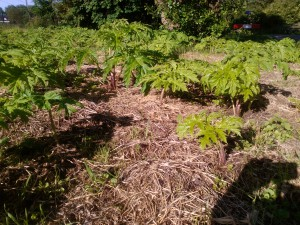 bestrijden berenklauw Purmerend: plant komt terug na maaien