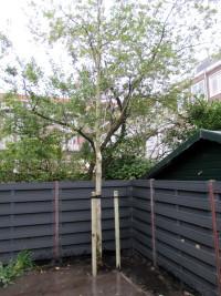 geplante boom in tuin Amsterdam