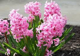 hyacinten planten