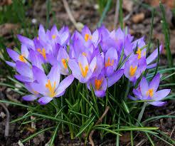 bloembollen planten: krokus