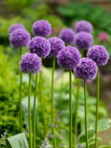 sieruien planten bloembol